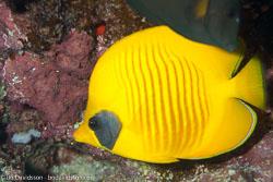 BD-100922-St-Johns-1997-Chaetodon-semilarvatus.-Cuvier.-1831-[Bluecheek-butterflyfish.-Rödahavsfjärilsfisk].jpg